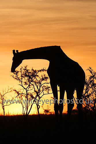 Giraffe Eating At Sunset - African Wildlife