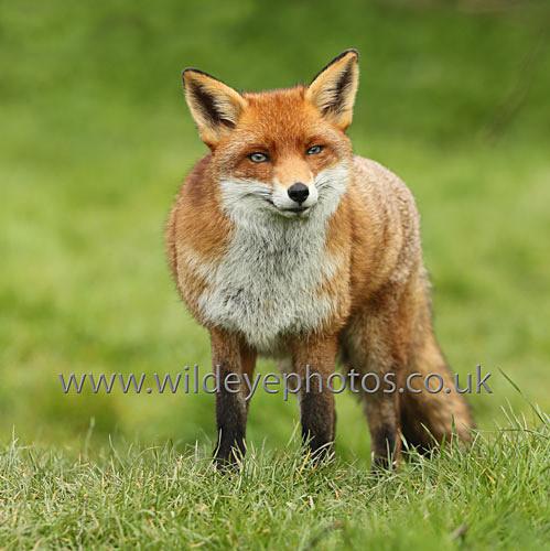 Happy Fox - Squares