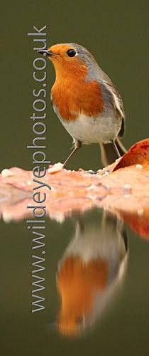 Reflected Robin - Panoramic & Slim Prints