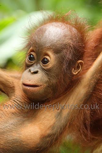Baby Orangutan - Primates