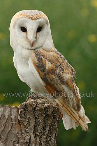 Barn Owl Resing - Owls