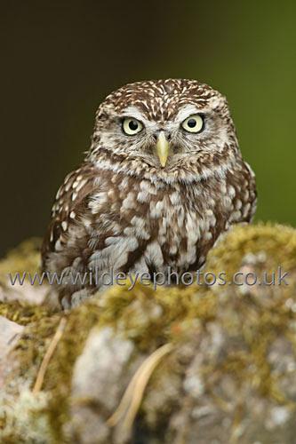 Little Owl Resting - Owls