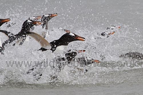 Landing Gentoos - Penguins