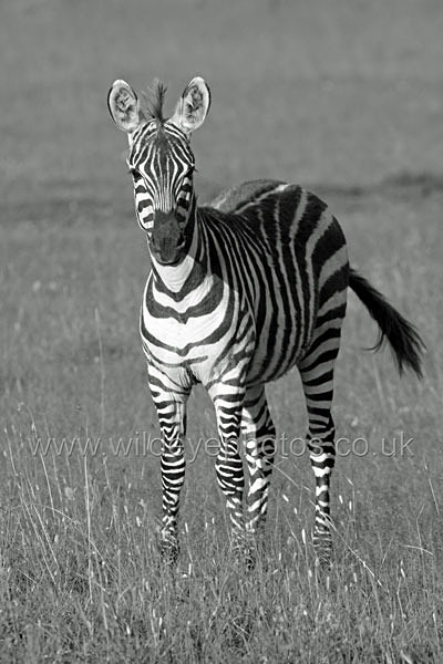 Young Zebra - Black & White