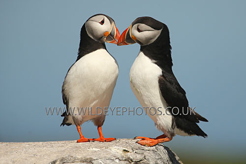 Kissing Puffins - Puffins
