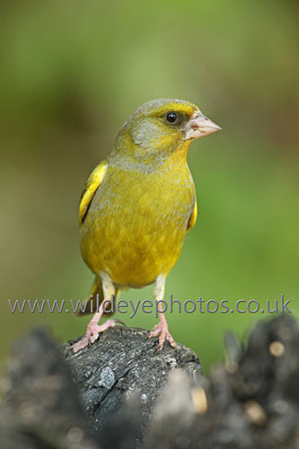 Green Finch Resting - British Birds