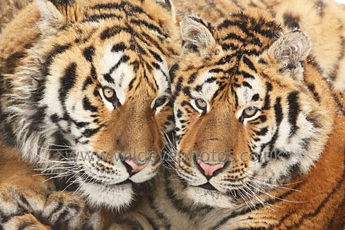 Tiger Faces - Tigers