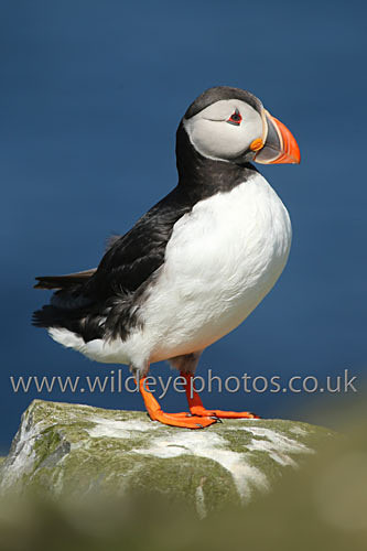 Puffin Look Out - Puffins