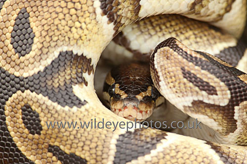 Python Coils - Reptiles, Amphibians & Insects