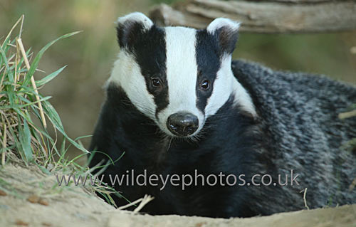 Curious Badger - British Wildlife