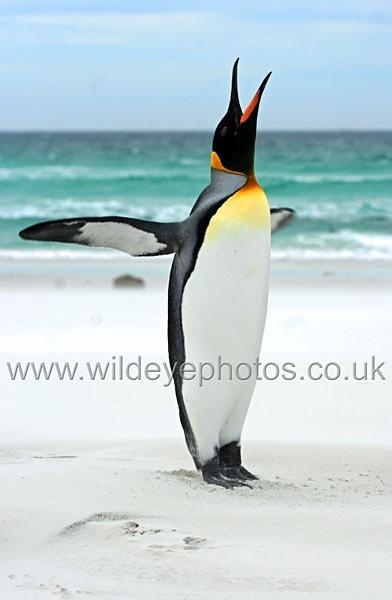 Calling King - Penguins