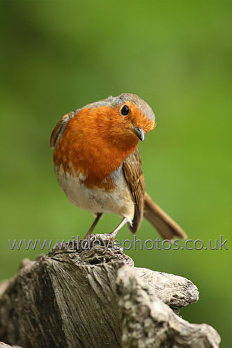 The Robin - British Birds