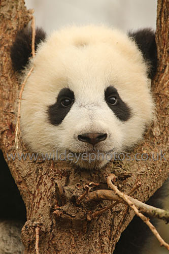 Baby Panda In The Tree - Pandas