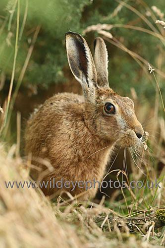 Hare In The Brush - British Wildlife