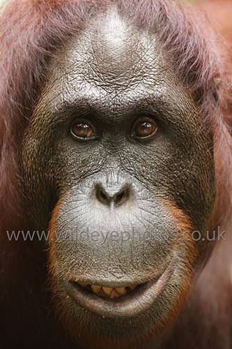 Female Orang Face - Primates