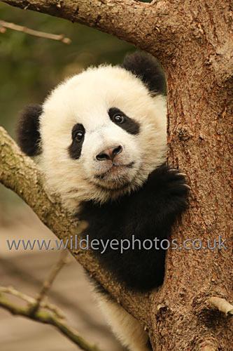 - Pandas