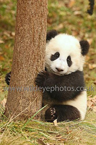 Me & My Tree II - Pandas