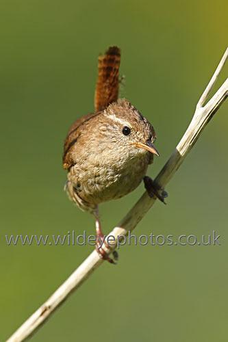 Rushing Wren - British Birds