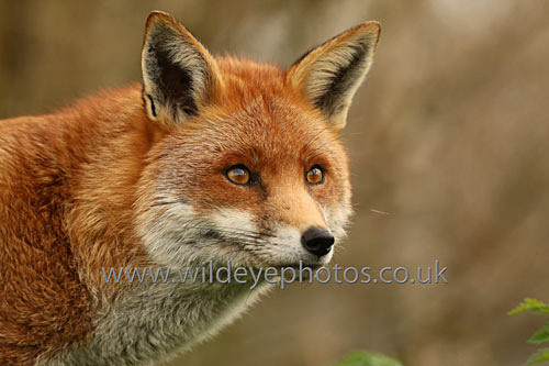 Foxy Looks - British Wildlife
