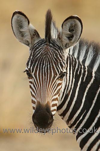 Zebra Mohawk - African Wildlife