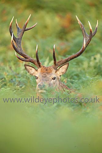 Stag In The Bracken - British Wildlife