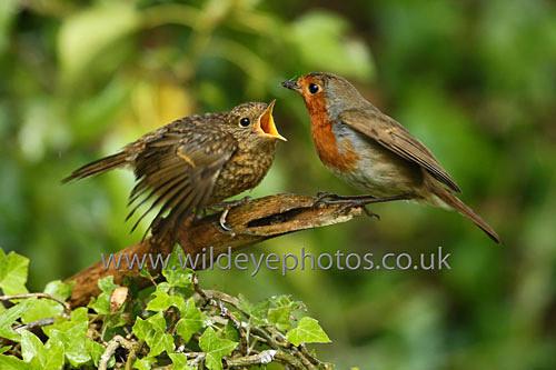 Feeding Time - British Birds