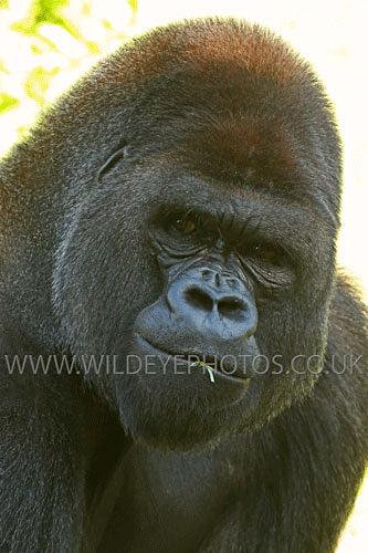 Gorilla Stare - Primates