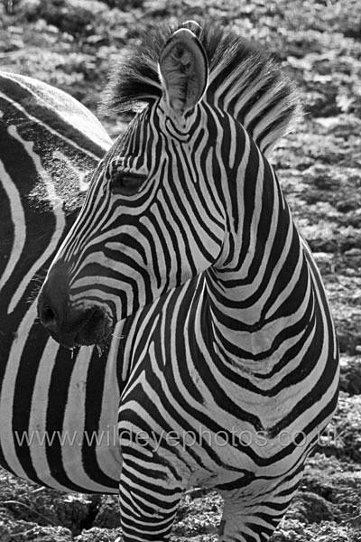 Zebra Profile - Black & White