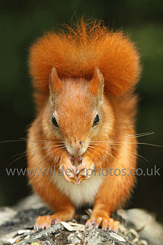 Squirrel Portrait - British Wildlife