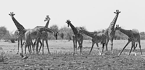 Giraffe Meeting - Panoramic & Slim Prints