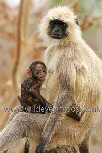 Langur Mum & Baby - Primates