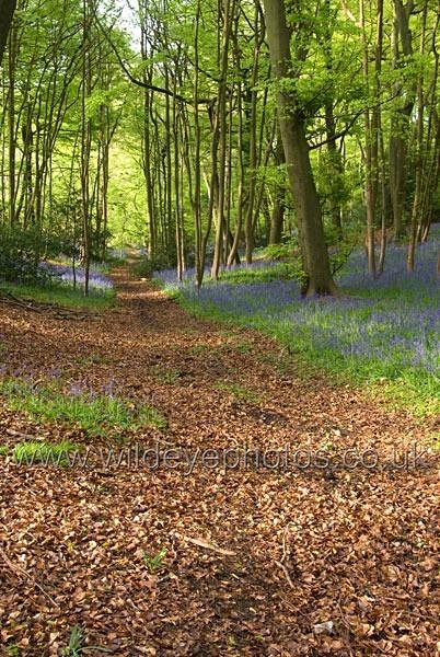 Bluebell Woods - Landscape & Life