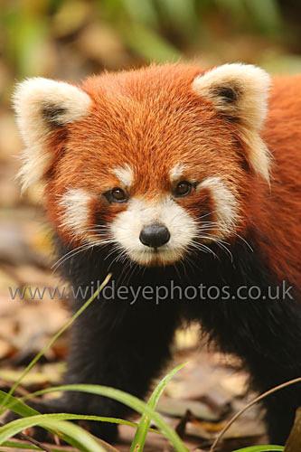 Red Panda Patrol - Wildlife