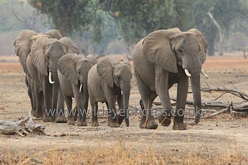 Family Of Eles - Elephants