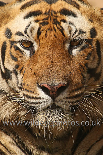 Bengal Portrait - Tigers