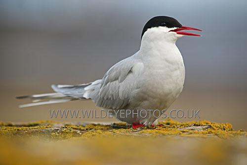 Tern & Lichen - British Birds