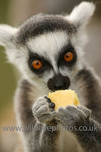 Lemur Lunch - Wildlife