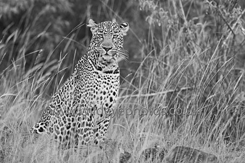 Leopard In The Grass - Black & White