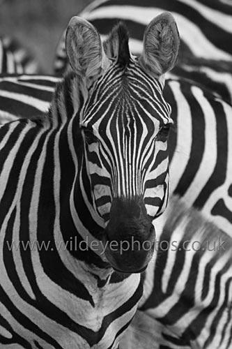 Zebra Face - Black & White