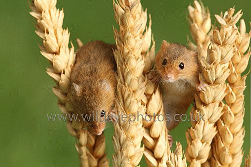 Mice IN The Corn - British Wildlife