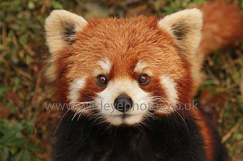 Red Panda Face - Wildlife