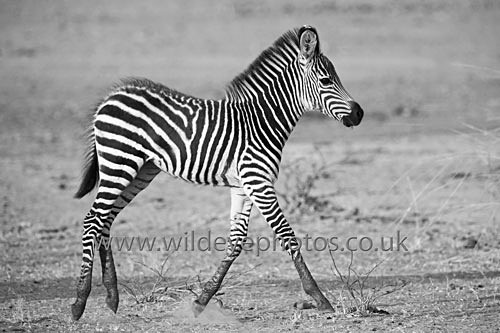 Trotting Zebra - Black & White
