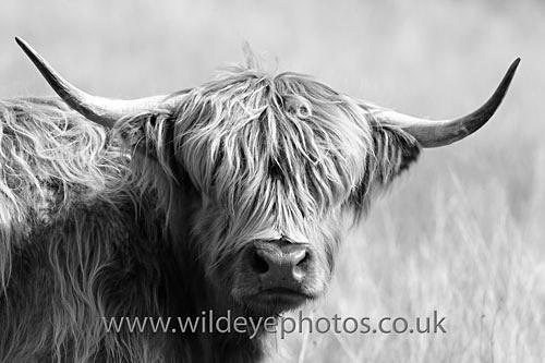 Highland Cow - Black & White