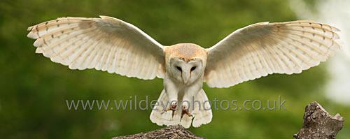 Barn Owl Landing - Panoramic & Slim Prints