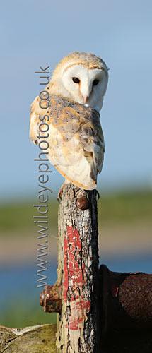 Barn Owl Resting - Panoramic & Slim Prints