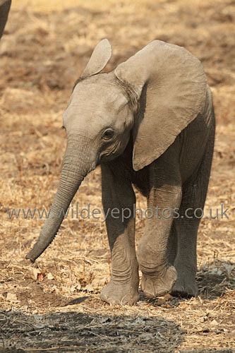 A Swing Of The Trunk - Elephants