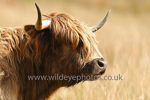 Curious Highland - British Wildlife