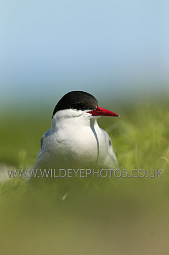 Tern In The Grass - British Birds