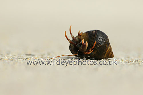 Hermit Crab - Reptiles, Amphibians & Insects