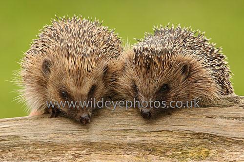 2 Hogs On a Log - British Wildlife
